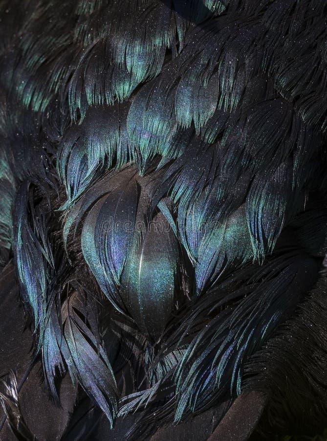 Czarna kaczka upierza z purpurami, zielenią i błękit iryzacją, obrazy stock