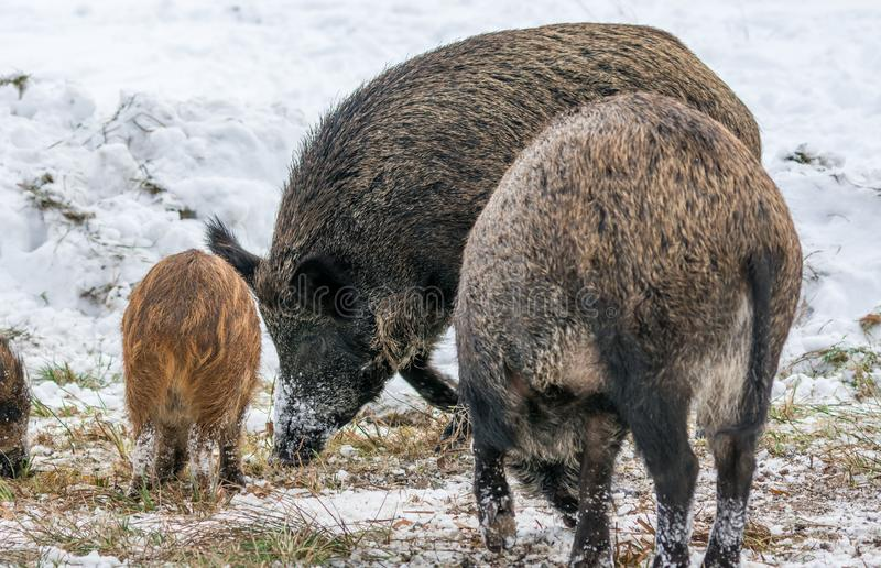 Czarna knur rodzina Łomota w śniegu zdjęcia royalty free