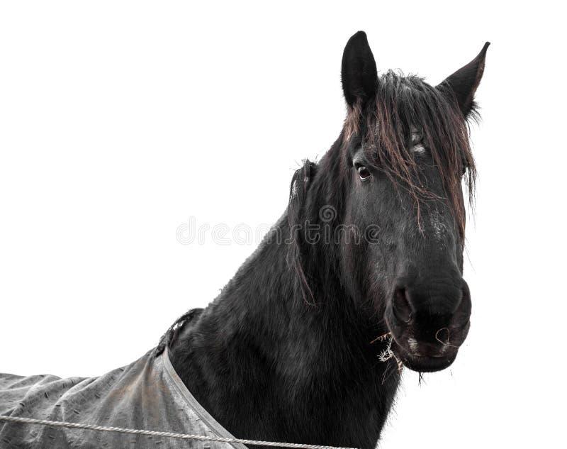 Czarna końska głowa odizolowywająca na białym tle obraz royalty free