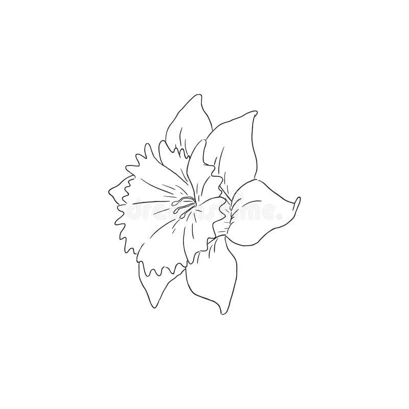 Czarna Kreskowej sztuki Daffodil narcyza kwiatu wektoru linia ilustracja wektor