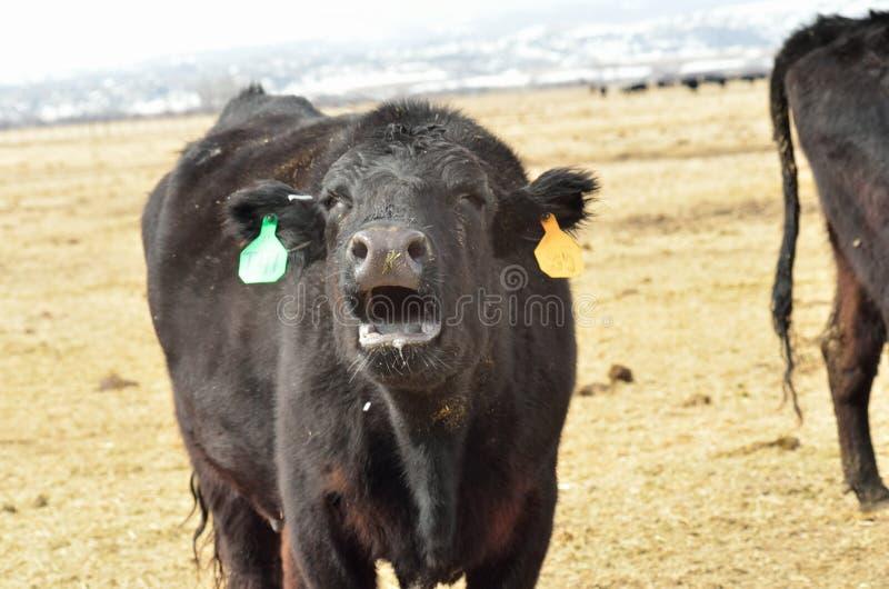 Czarna krowa pyskuje dla jej łydki zdjęcia stock
