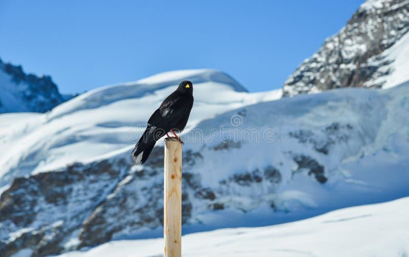 Czarna kruk pozycja na drewnianym filarze obraz royalty free