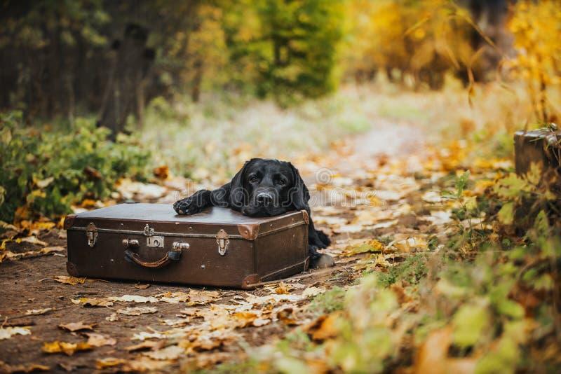 Czarna labrador jesień w naturze, rocznik obraz royalty free