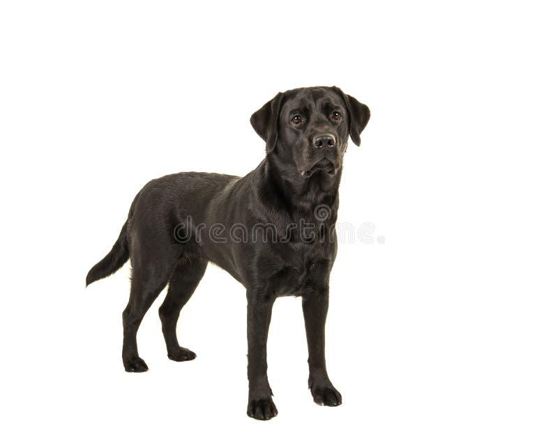 Czarna Labrador retriever pozycja zdjęcie royalty free