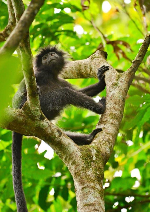 Czarna małpa obrazy stock