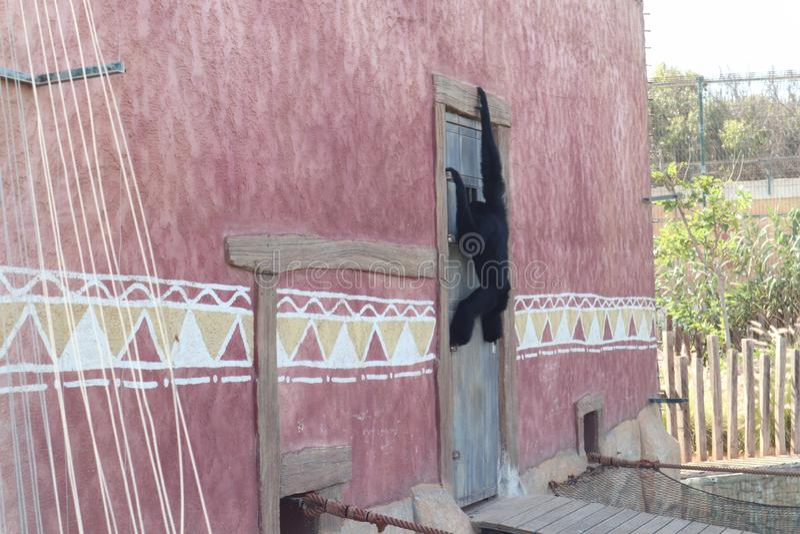 Czarna małpa Dołączająca drzwi zdjęcia royalty free