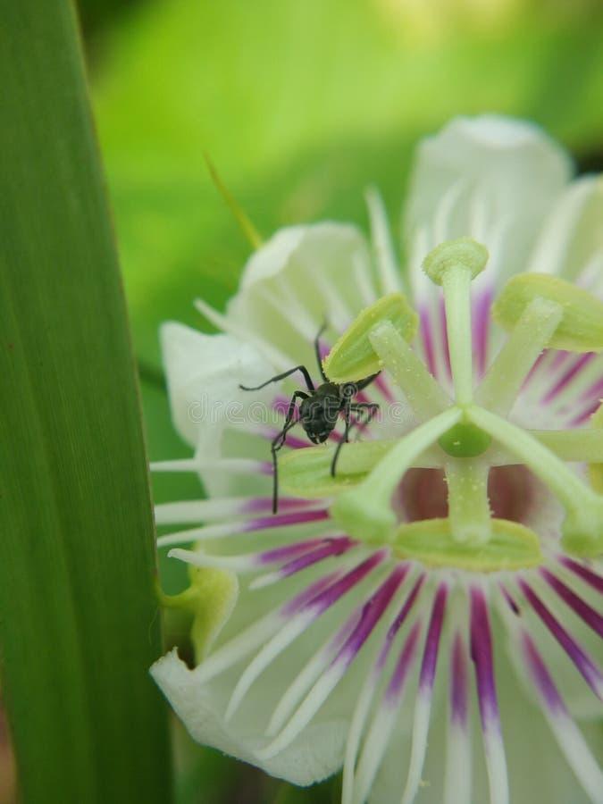 Czarna mrówka zdjęcia stock