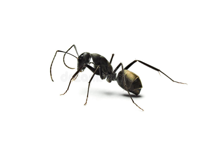 czarna mrówka odizolowywająca na białym tle zdjęcia stock