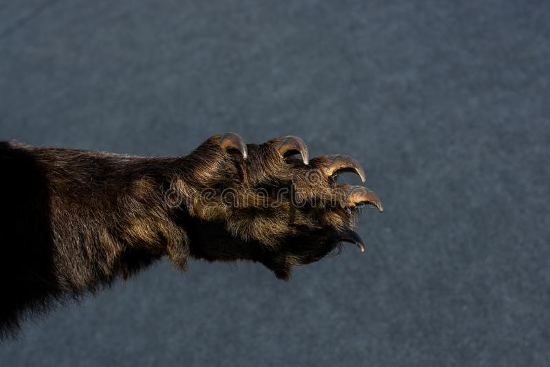 Czarna Niedźwiadkowa łapa Z ostrymi pazurami zdjęcie royalty free