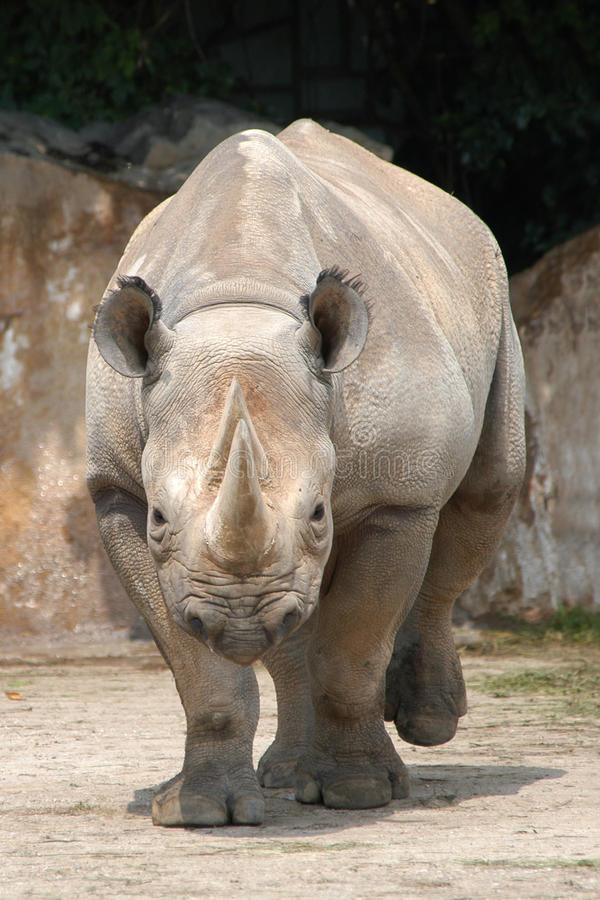 czarna nosorożca zdjęcie stock