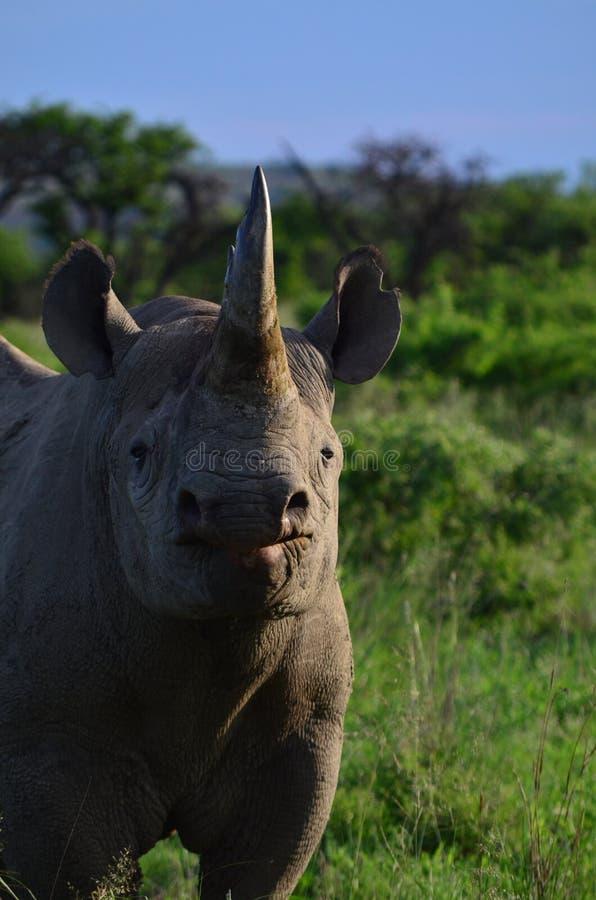 czarna nosorożca obraz stock