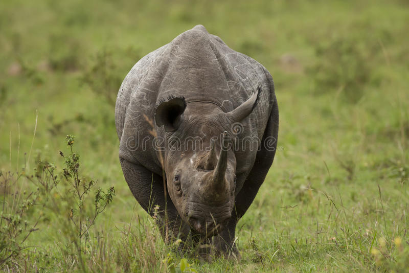 Czarna nosorożec obraz stock