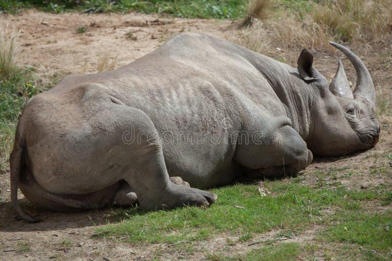Czarna nosorożec & x28; Diceros bicornis& x29; obraz stock