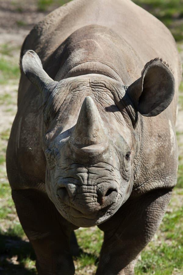 Czarna nosorożec & x28; Diceros bicornis& x29; zdjęcie stock