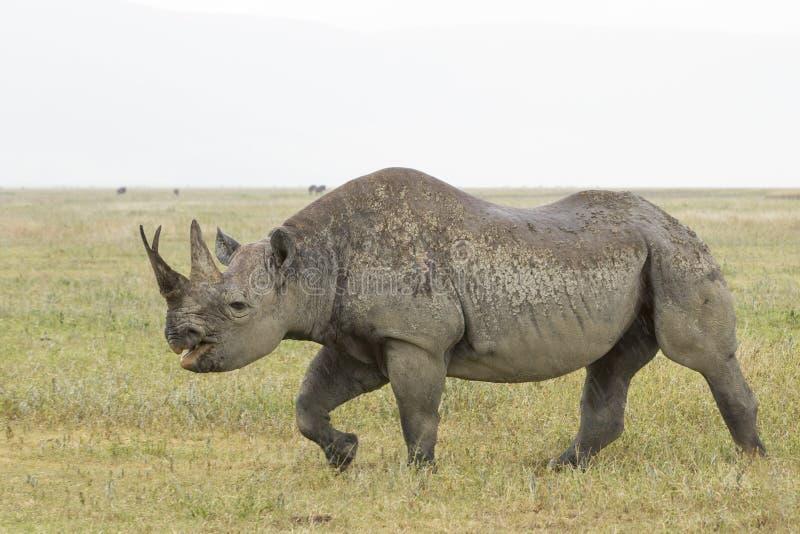 Czarna nosorożec w Tanzania (Diceros bicornis) obraz royalty free