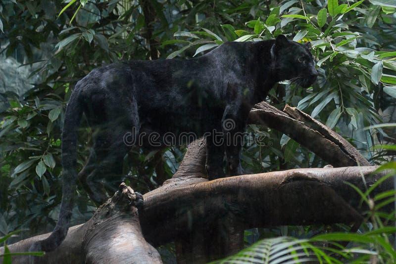 czarna pantera obraz royalty free