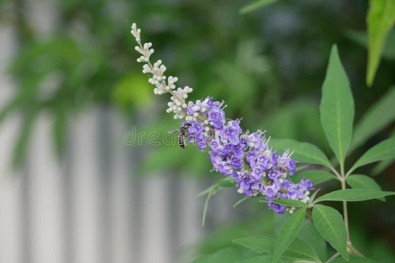 Czarna pszczoła Zapyla Purpurowego Teksas bzu kwiatostan obraz royalty free