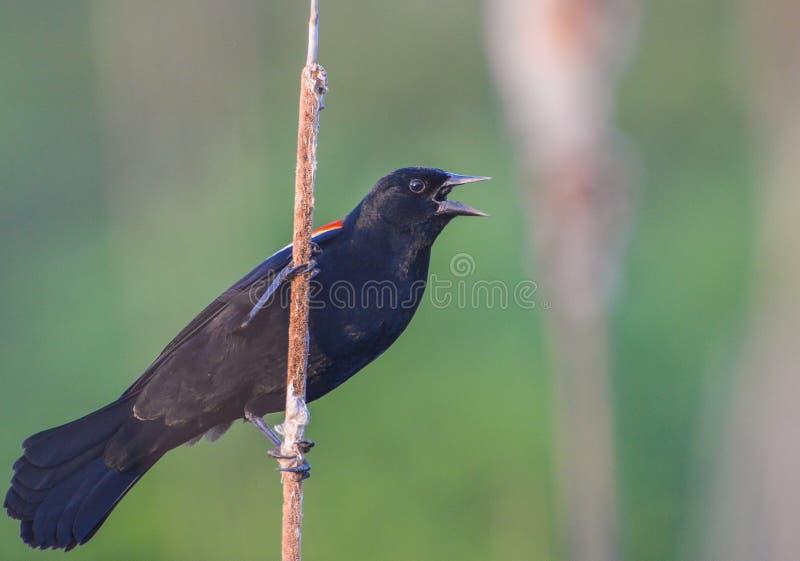 Czarna ptasia samiec obrazy royalty free