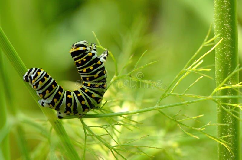Czarna Swallowtail motyla g?sienica zdjęcie stock