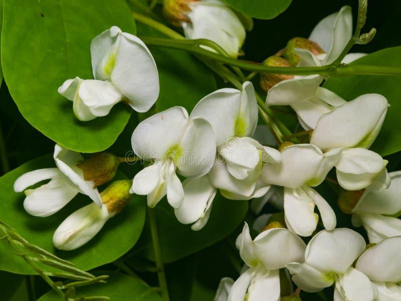 Czarna szarańcza, Fałszywego pseudoacacia kwitnący zakończenie, selekcyjna ostrość, płytki DOF obraz stock