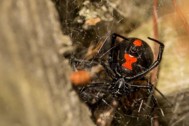 czarna wdowa pająk obrazy royalty free