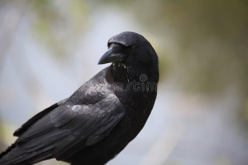 Czarna wrona stoi zdjęcie royalty free