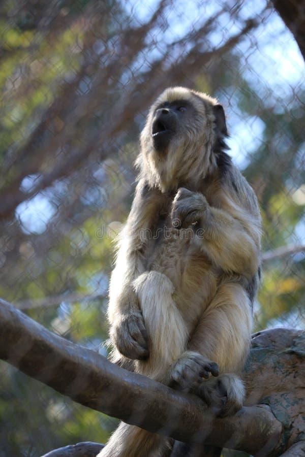 Czarna wyjec małpa obrazy stock