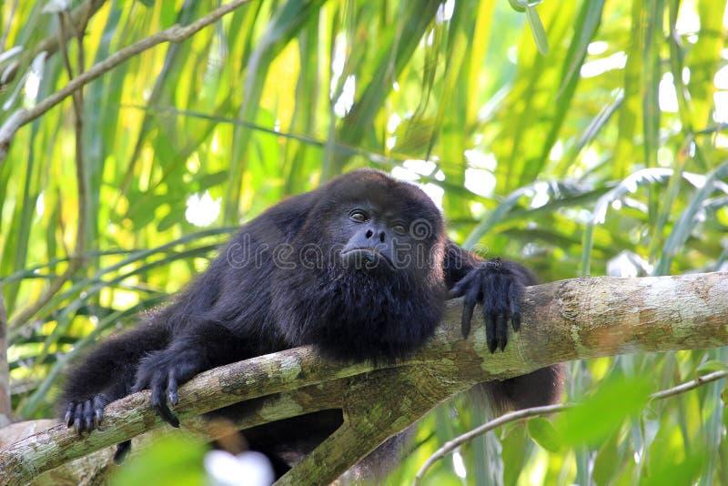 Czarna wyjec małpa patrzeje smutny fotografia stock