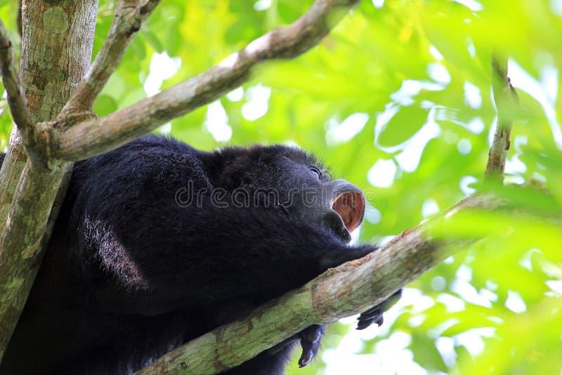Czarna wyjec małpa wy zakończenie up zdjęcie royalty free