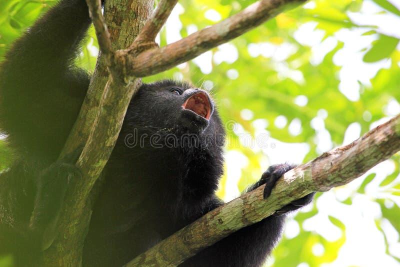 Czarna wyjec małpa wy zakończenie up fotografia stock