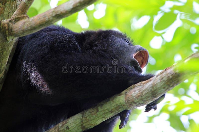 Czarna wyjec małpa wy zakończenie up obrazy royalty free