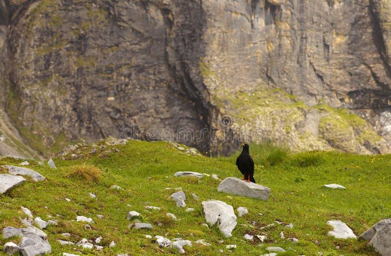 Czarna wysokogórska kruk pozycja na kamieniu obrazy stock