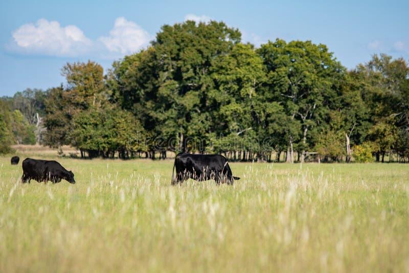 Czarne Angus krowy pasa w późne lato paśniku fotografia stock