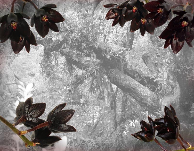 Czarne Fredclarkeara orchidee na dżungli tle zdjęcie stock