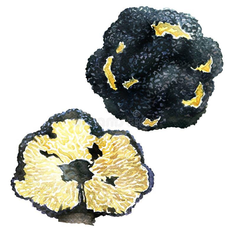 Czarne jesieni trufle na białym tle - bulwy uncinatum ilustracja wektor