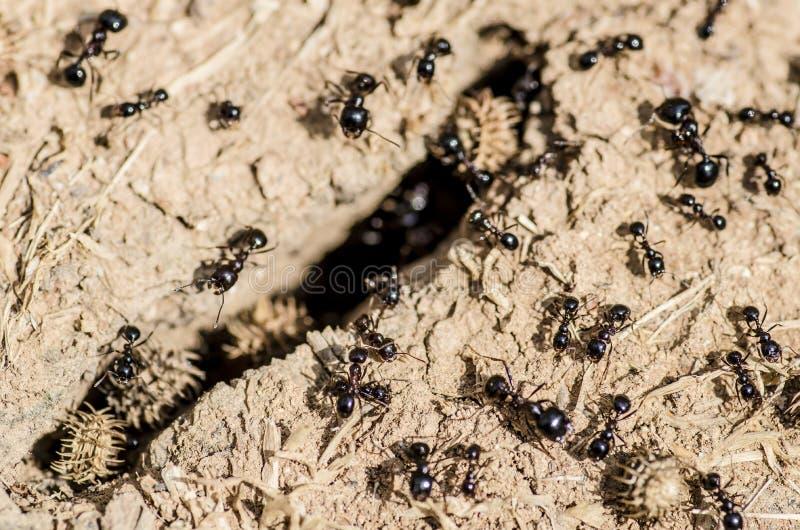Czarne mrówki zbiera jedzenie obrazy royalty free