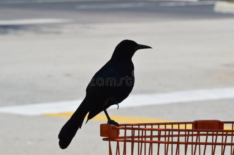Czarne ptak wrony fotografia royalty free