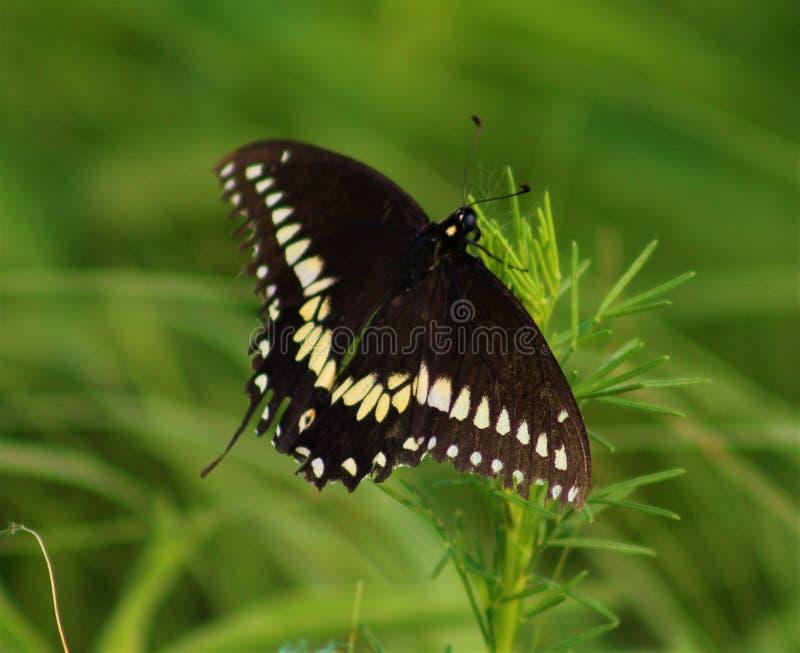 Czarne swallowtail motyla ziemie na dzikiej trawie zdjęcia royalty free