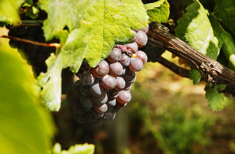 czarne wiązek winogron obrazy stock
