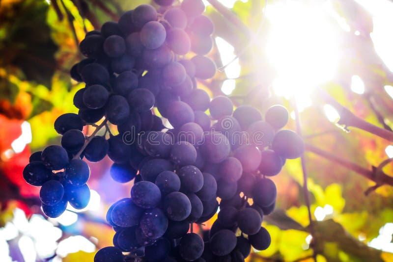 czarne winogron fotografia royalty free