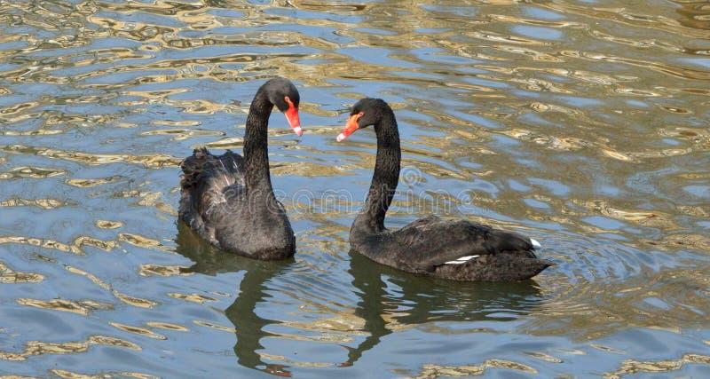 Czarnego łabędź Cygnus atratus zdjęcie royalty free