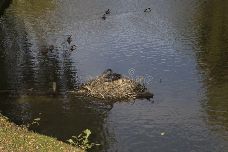 Czarnego łabędź gniazdować zdjęcie royalty free