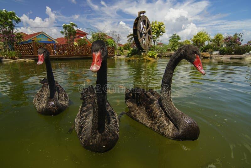 Czarnego łabędź pływania pławik na wodzie lub staw z wiatraczkiem jako backgrou zdjęcie royalty free
