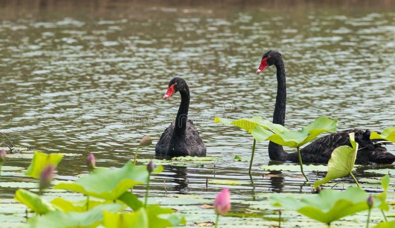 Czarnego łabędź pary zdjęcia royalty free