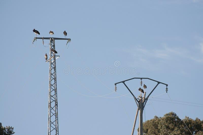 Czarnego bociana Ciconia nigra, odpoczywa na linii energetycznej zdjęcia stock