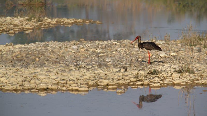 Czarnego bociana ptak przy Bardia parkiem narodowym, Nepal obraz royalty free