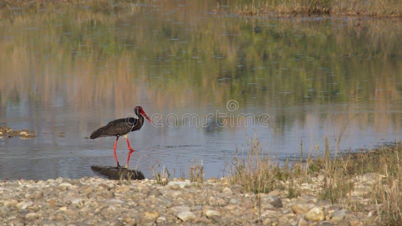 Czarnego bociana ptak przy Bardia parkiem narodowym, Nepal zdjęcie stock
