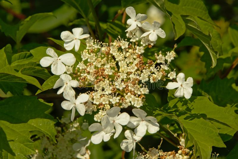 Czarnego haw kwiatu grono - Viburnum prunifolium fotografia royalty free