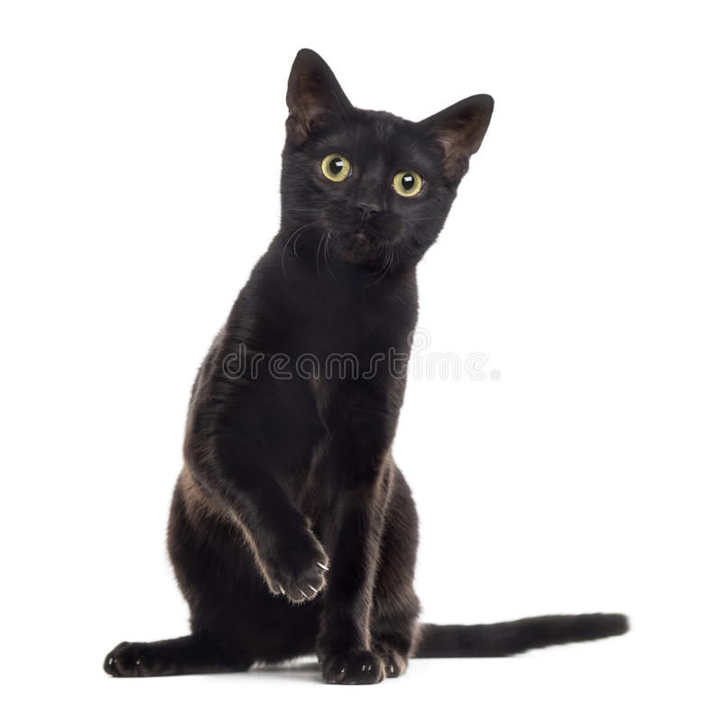 Czarnego kota figlarka z łapą up, odizolowywający na bielu zdjęcia stock