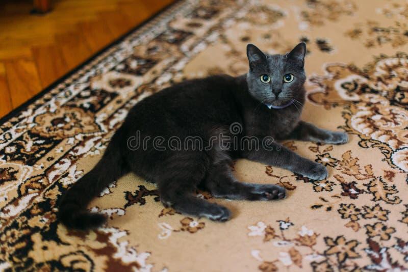 Czarnego kota kłamstwa na dywanie z stylów wzorami w domu i odpoczywający, patrzejący kamera obraz stock
